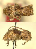 Image of <i>Pterolamia villosa</i> Breuning