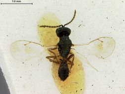Image of <i>Toxeuma affinis</i> Ashmead 1901
