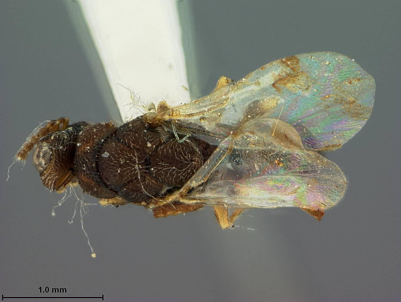 Image of <i>Eurytoma hakonensis</i> Ashmead 1904