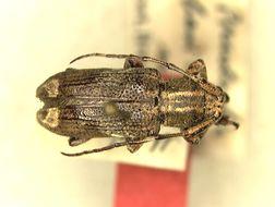 Image of <i>Pterolophia</i> (<i>Ale</i>) <i>basicristata</i> Breuning 1938