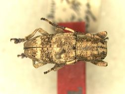 Image of <i>Pterolophia trivittata</i> Breuning 1940
