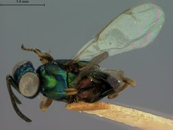 Image of <i>Eupelmus hawaiiensis</i> Ashmead 1901