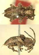 Image of <i>Pterolophia</i> (<i>Ale</i>) <i>hirsuta</i> Breuning 1943