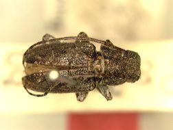 Image of <i>Pterolophia</i> (<i>Trichopraonetha</i>) <i>pilosipennis</i> Breuning 1943