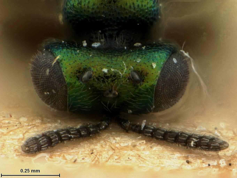 Image of <i>Toxeuma hawaiiensis</i> Ashmead 1901