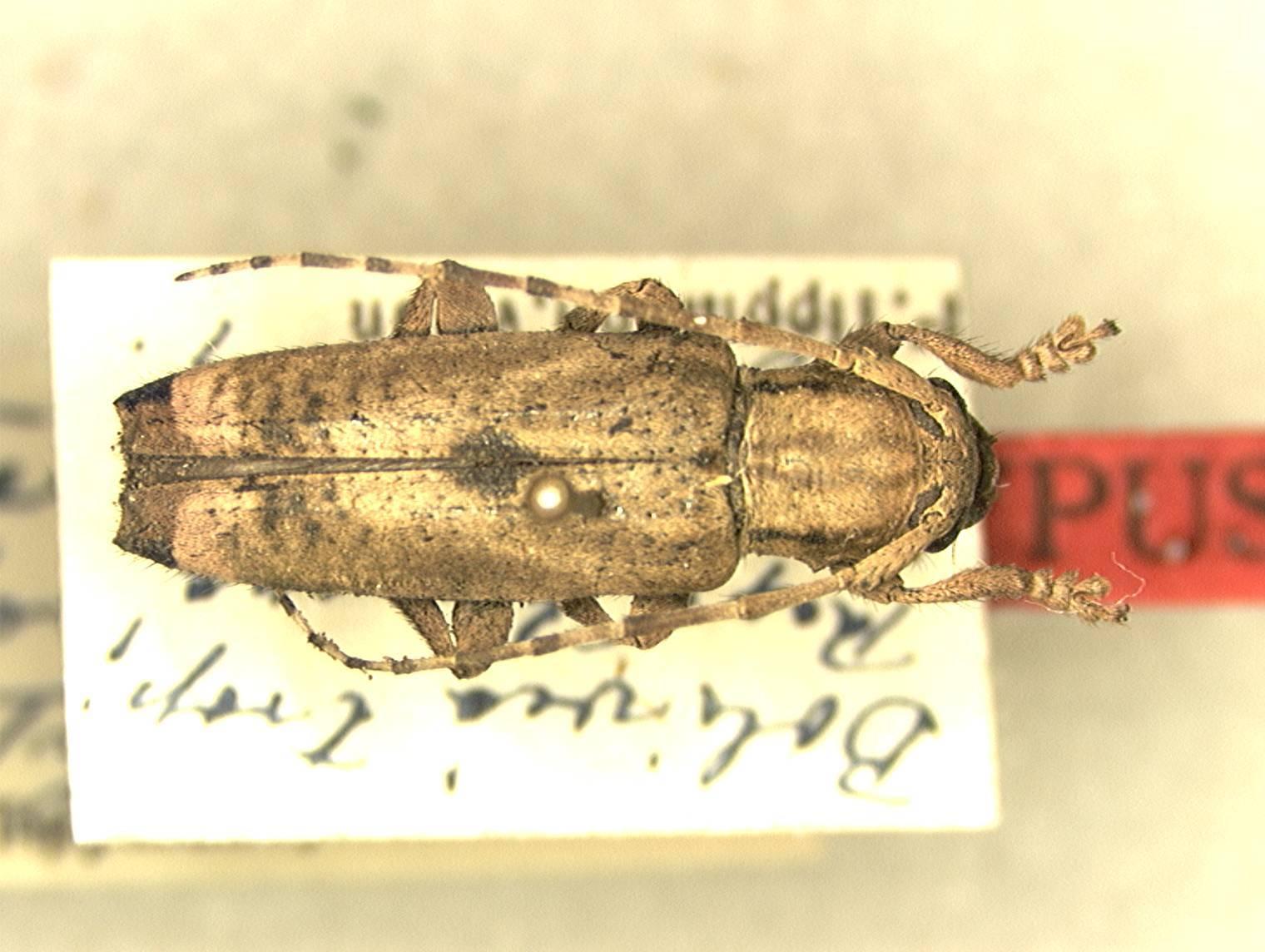 Image of <i>Bisaltes buquetii</i> Thomson 1868