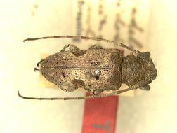Image of <i>Diadelia</i> (<i>Setodiadelia</i>) <i>laterimaculata</i> Breuning 1943