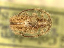 Image of <i>Eupogonius columbianus</i> Breuning 1942