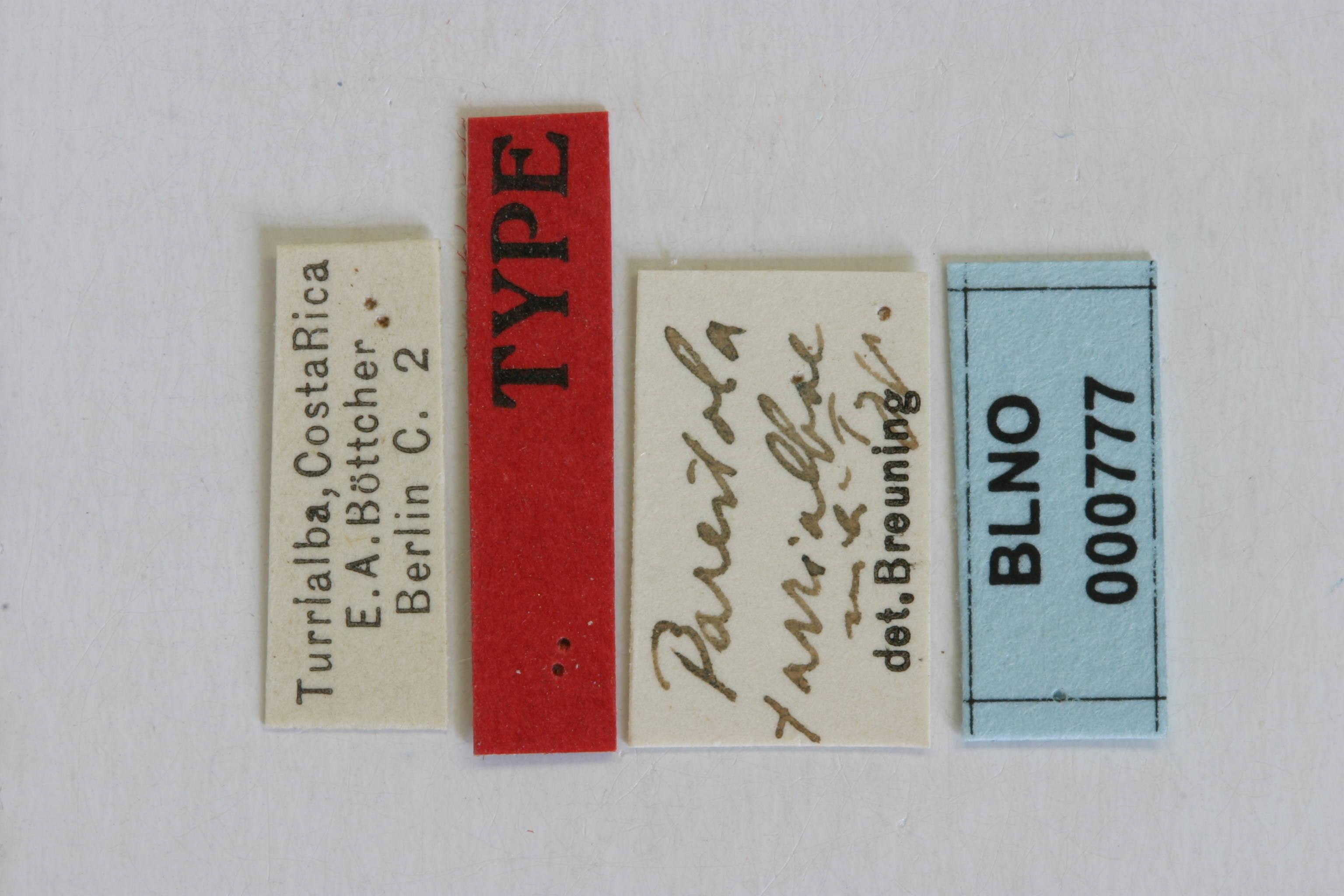 Image of <i>Drycothaea turrialbae</i> (Breuning 1943)