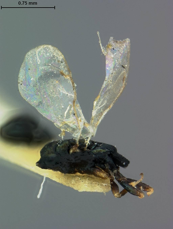 Image of <i>Syntomopus americanus</i> Ashmead 1895