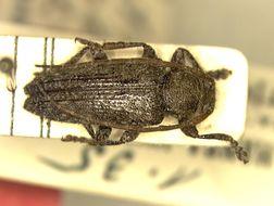 Image of <i>Drycothaea truncatipennis</i> Tavakilian 1997