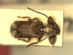 Image of <i>Eupromera alboscutellaris</i> Breuning