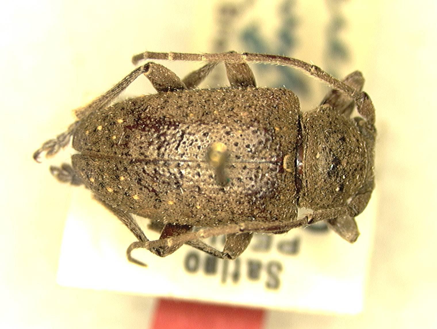 Image of <i>Aerenea flavofasciculata</i> Breuning 1948