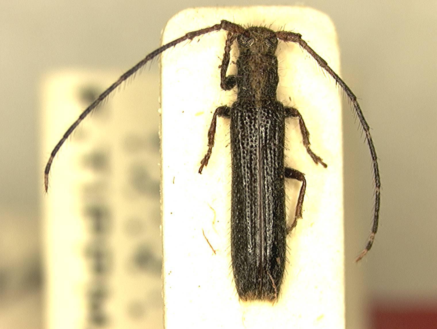 Image of <i>Epectasis juncea</i> (Newman 1840)