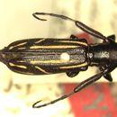 Image of <i>Ischioloncha strandiella</i> Breuning 1942