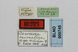 Image of <i>Oreodera mimetica</i> Lane 1970