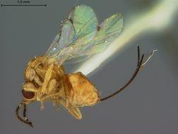 Image of <i>Megastigmus immaculatus</i> Ashmead 1905
