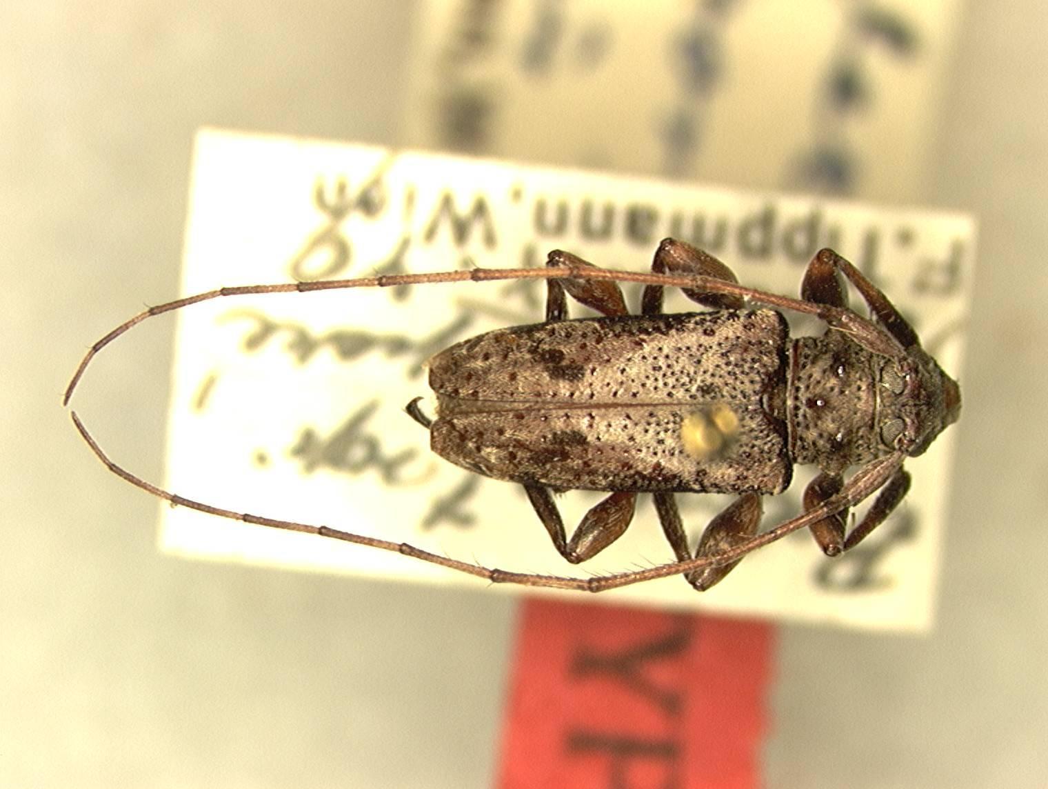 Image of <i>Oreodera semiporosa</i> Tippmann 1960