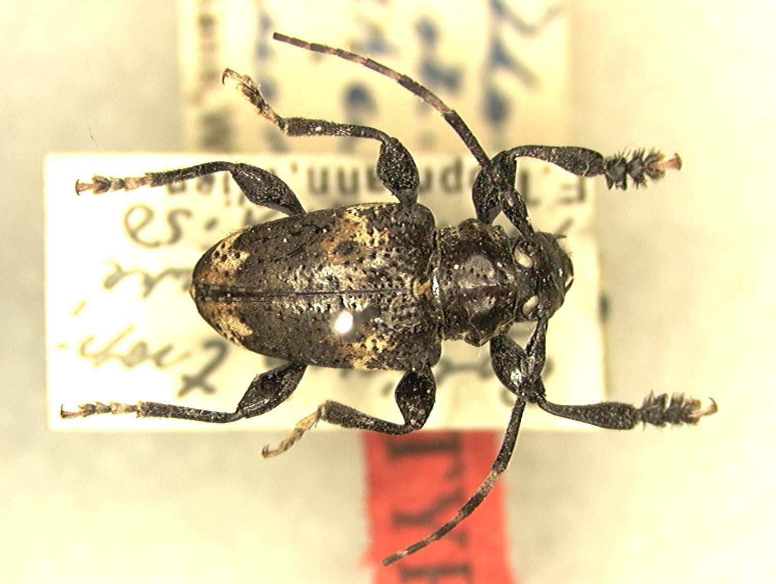 Image of <i>Acanthoderes zischkai</i> Tippmann 1960