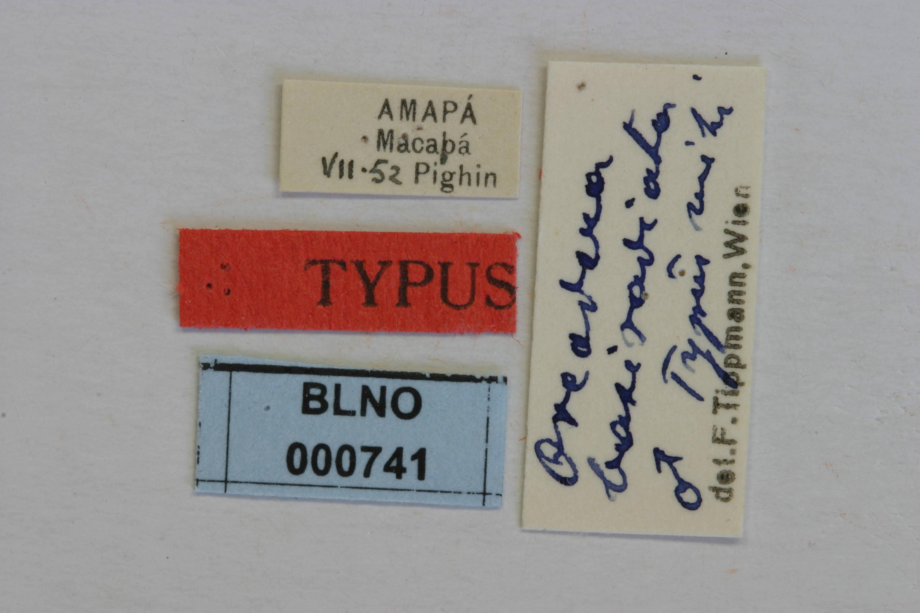Image of <i>Oreodera basiradiata</i> Tippmann 1960