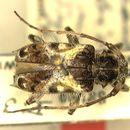 Image of <i>Zikanita biocellata</i> (Tippmann 1960)