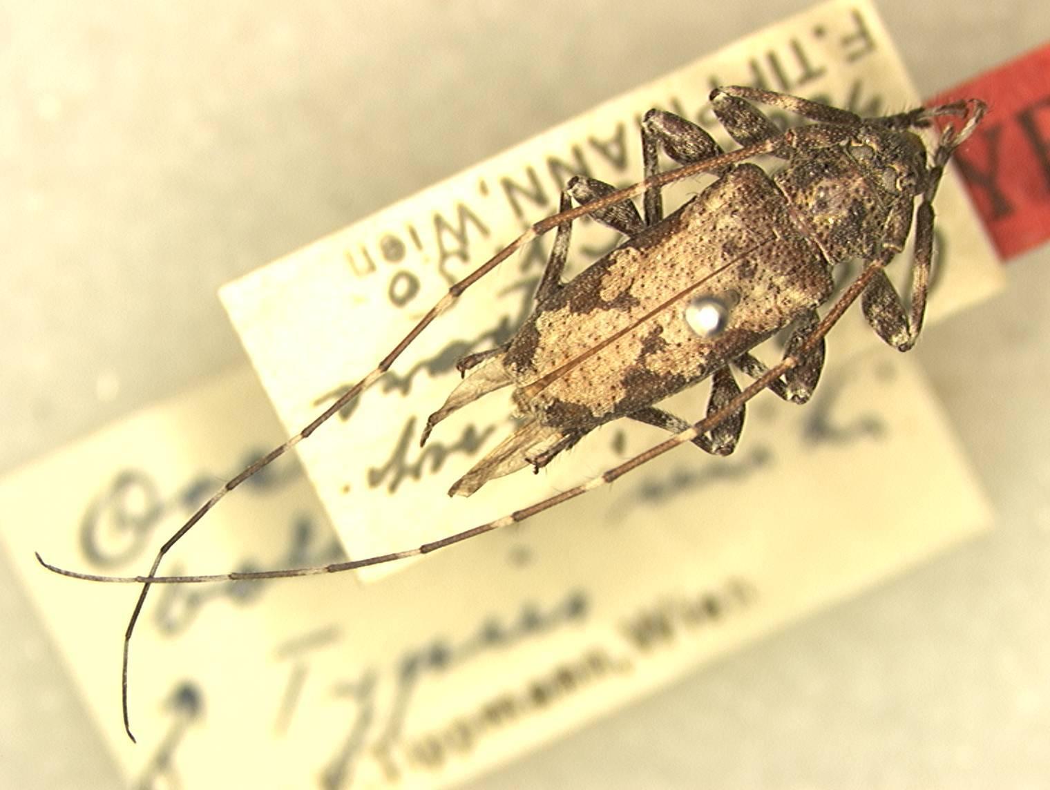 Image of <i>Oreodera boliviana</i> Tippmann 1960