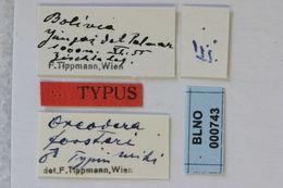 Image of <i>Oreodera forsteri</i> Tippmann 1960