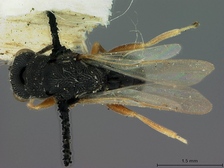Image of <i>Eurytoma japonica</i> Walker 1873