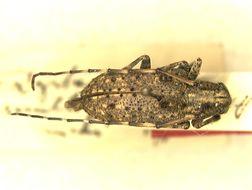 Image of <i>Dystasia multifasciculata</i> Breuning 1943