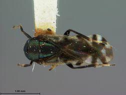 Image de <i>Cerapteroceriodes japonicus</i> Ashmead