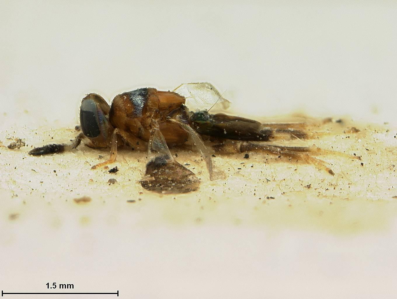 Image of <i>Cheiloneurus japonicus</i> Ashmead 1904