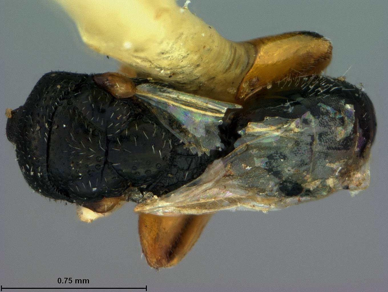Image of <i>Schwarzella arizonensis</i> Ashmead 1904
