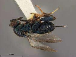Image of <i>Monodontomerus japonicus</i> Ashmead 1904