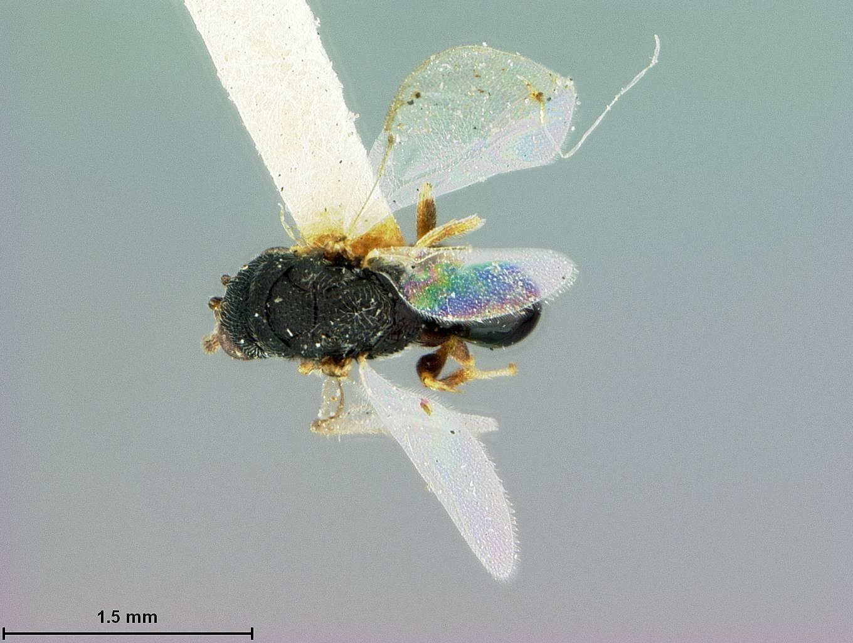 Image of <i>Eurytoma atamiensis</i> Ashmead