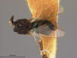Image of <i>Eupelmus juglandis</i> Ashmead 1894