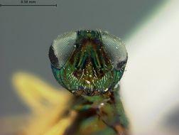 Image of <i>Eupelmus auratus</i> Ashmead 1886