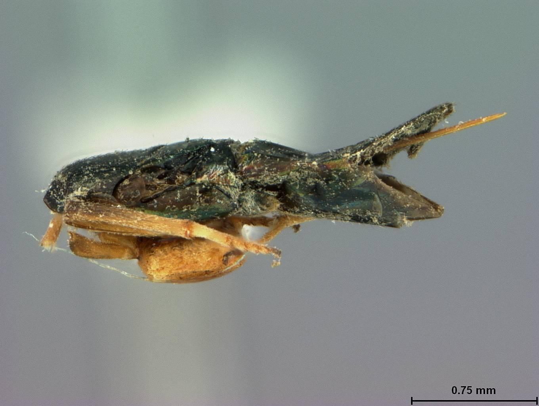 Image of <i>Cerchysius australiensis</i> Ashmead 1900