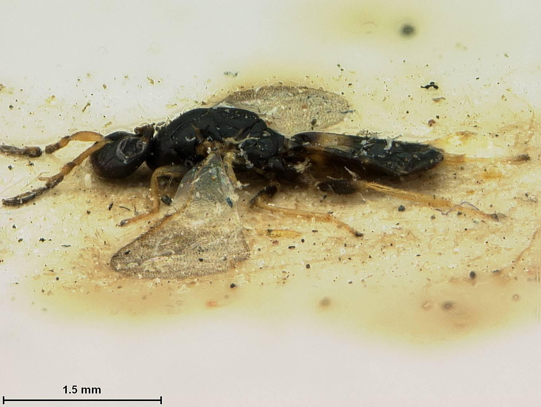 Image of <i>Elachertus basilaris</i> Ashmead 1904