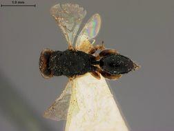 Image of <i>Eurytoma lycti</i> Ashmead 1894