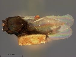 Image of <i>Eupelmus macrocarpae</i> Ashmead 1888