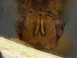 Image of <i>Alloderma maculipennis</i> Ashmead 1904