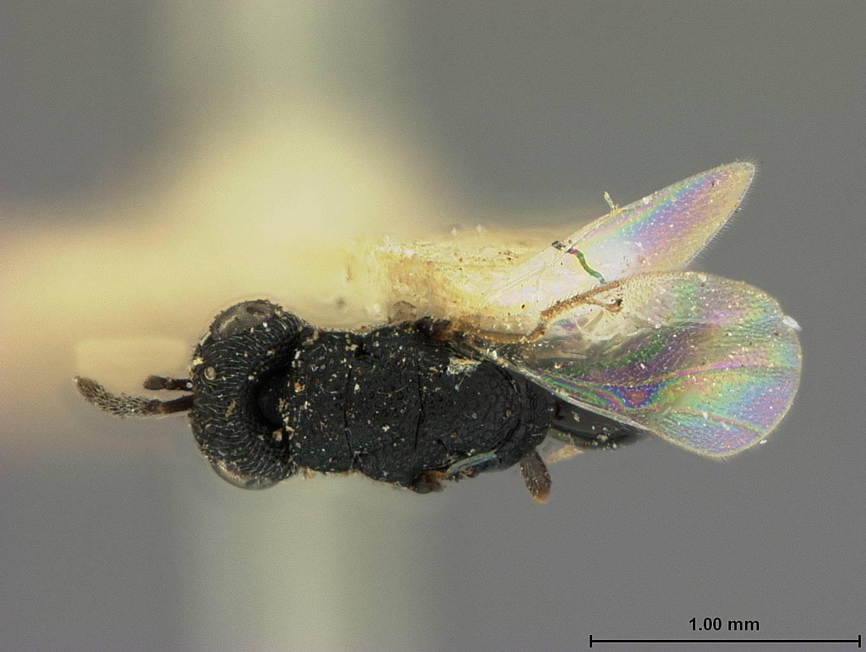 Image of <i>Eurytoma magdalidis</i> Ashmead 1894