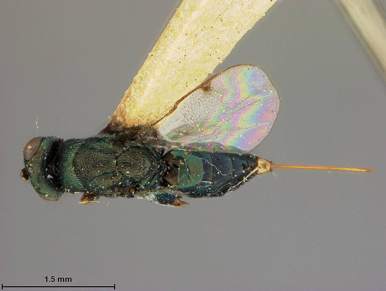 Image of <i>Monodontomerus montivagus</i> Ashmead 1890