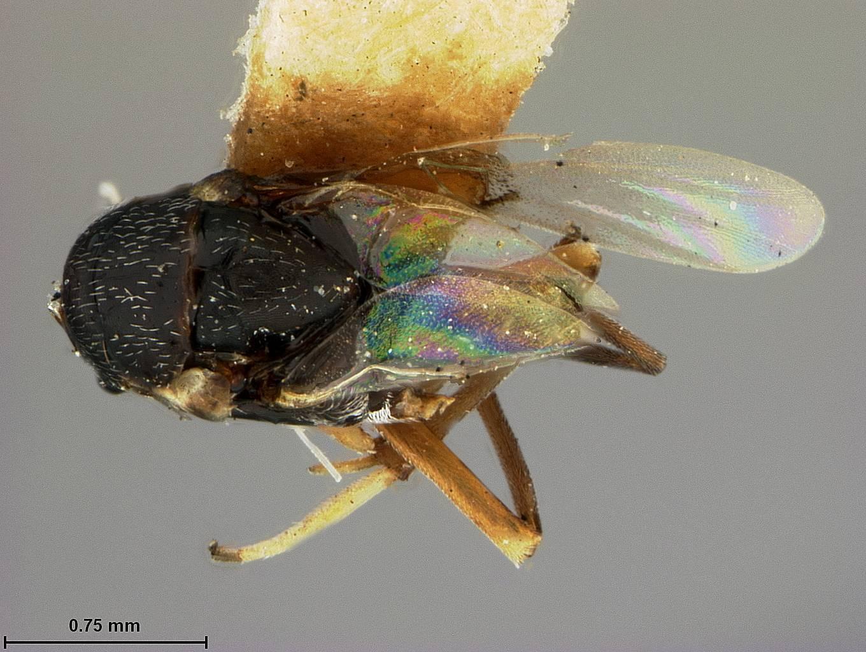 Image de <i>Isodromus niger</i> Ashmead 1900