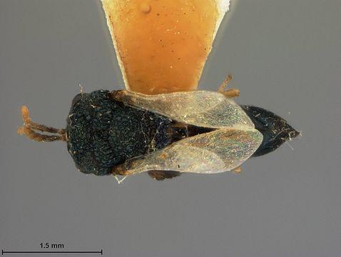 Image of <i>Pseudochalcura nigrocyanea</i> Ashmead 1904