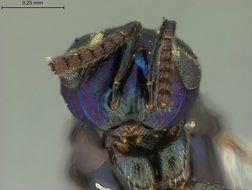 Image of <i>Syrphophagus nigrocyaneus</i> Ashmead 1904