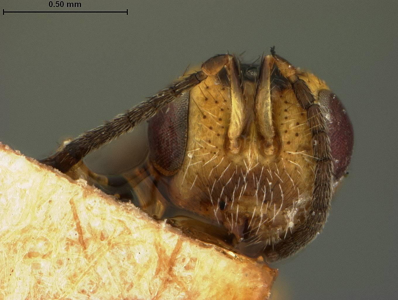 Image of <i>Megastigmus nigrovariegatus</i> Ashmead 1890