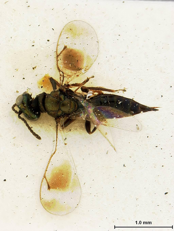 Image of <i>Toxeuma nubilipennis</i> Ashmead 1901