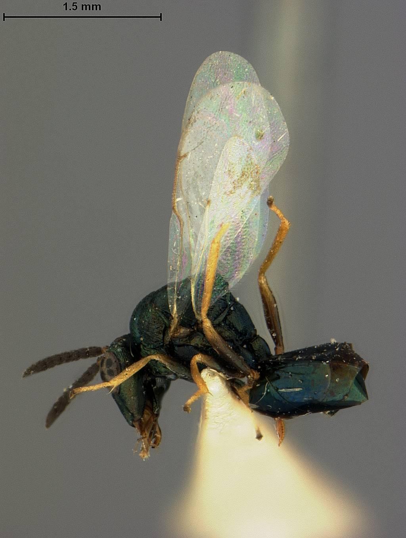 Image of <i>Orasema occidentalis</i> Ashmead 1892