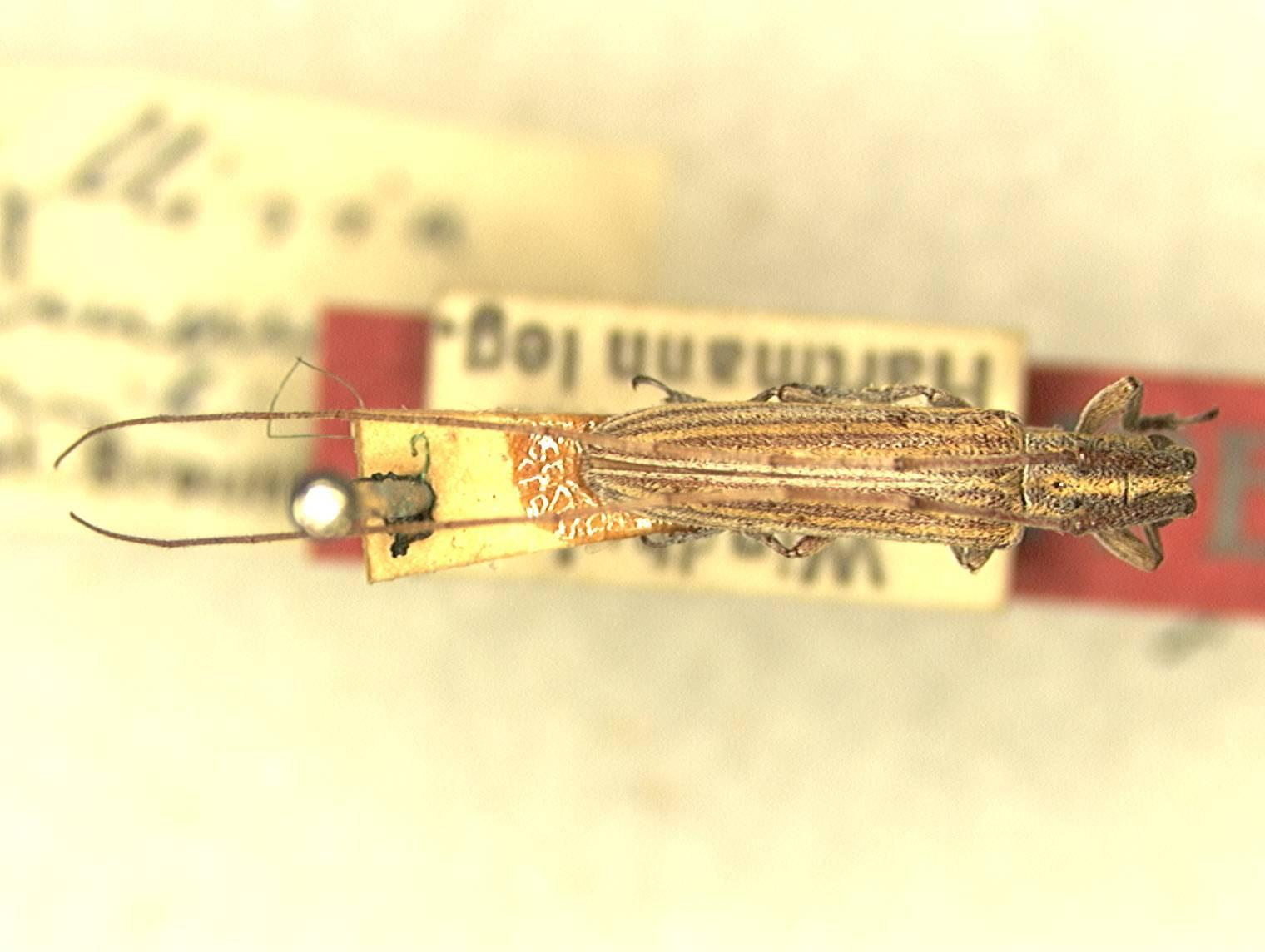 Image of <i>Hyllisia damarcusis</i> Breuning